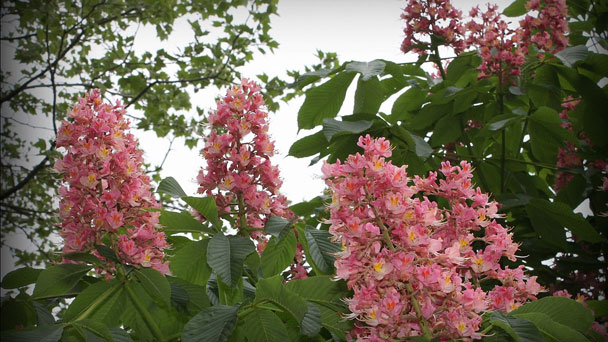 Red Buckeye Tree: How to Grow & Care for Aesculus Pavia