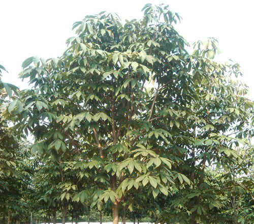 Red Buckeye Tree