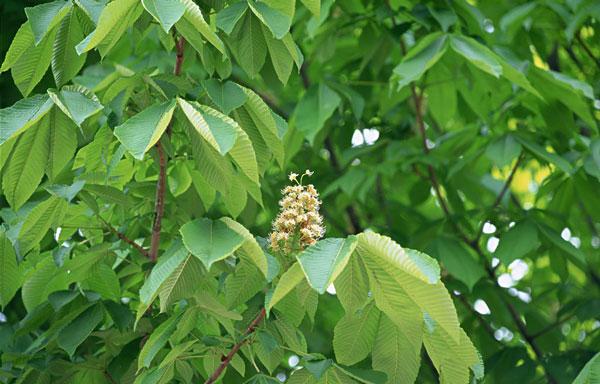 Red Buckeye Tree (Aesculus Pavia)