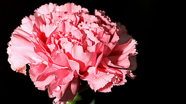 Carnation: Grow & Care for Dianthus Caryophyllus