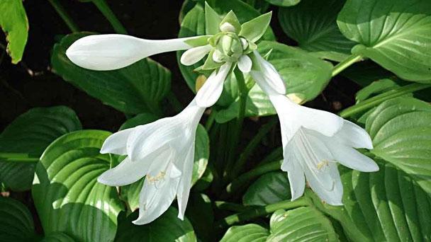Hosta Halcyon Plant Grow & Care Guide