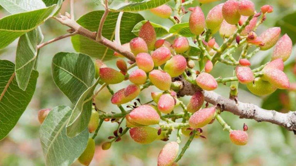 How to Grow & Care for Pistachio Trees