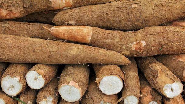 Cassava (Manihot esculenta) Profile