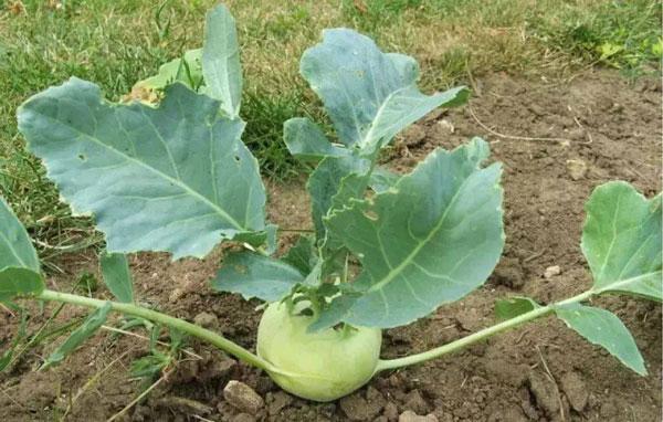 Parsnips: Grow & Care for Pastinaca Sativa