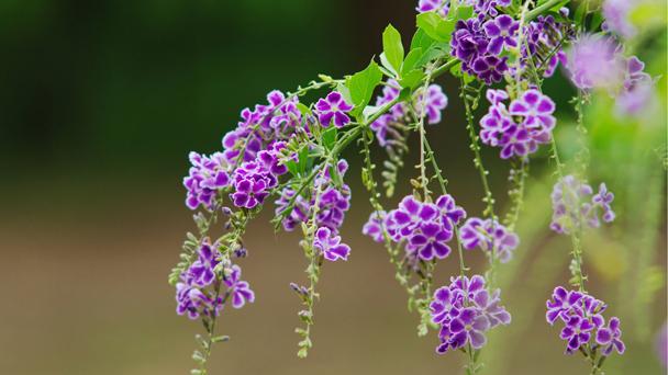 Duranta Plant (Duranta Erecta) Grow & Care Guide