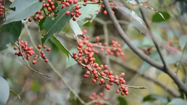 Ilex glabra (Inkberry Holly)