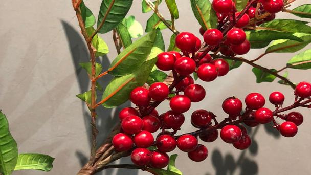 Ilex glabra: Grow & Care for Inkberry Holly