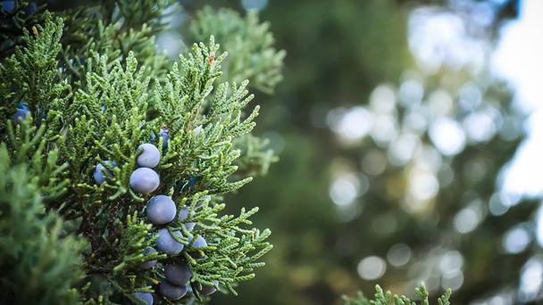 Juniper: Grow & Care for Juniperus communis