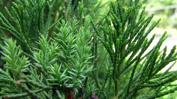 Juniper (Juniperus communis) Profile
