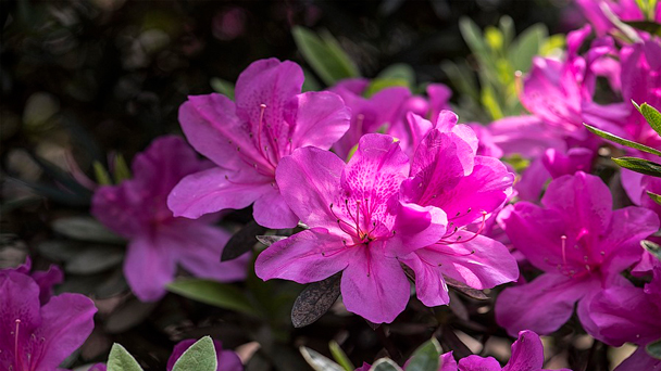 Pacific Rhododendron Profile