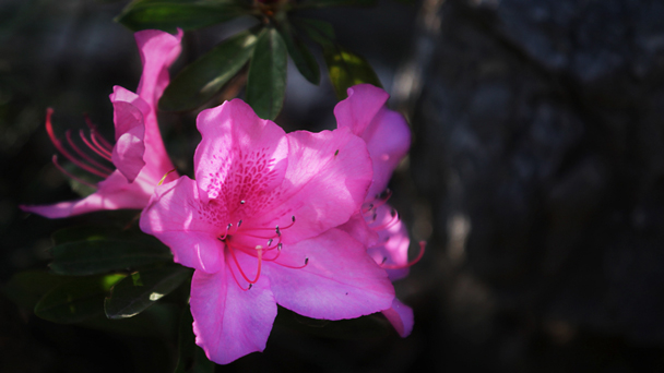 Pacific Rhododendron: Grow & Care for Rhododendron macrophyllum