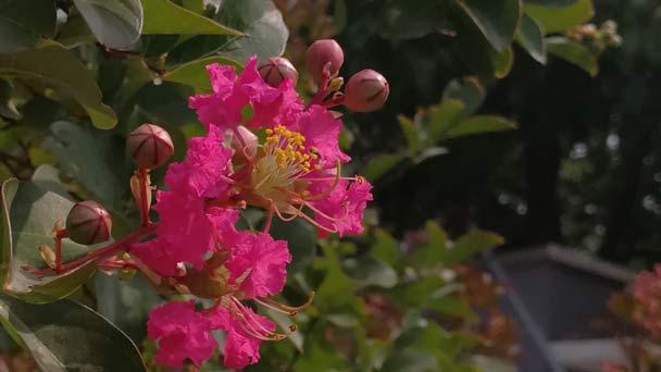 Acoma Crape Myrtle (Lagerstroemia 'Acoma')