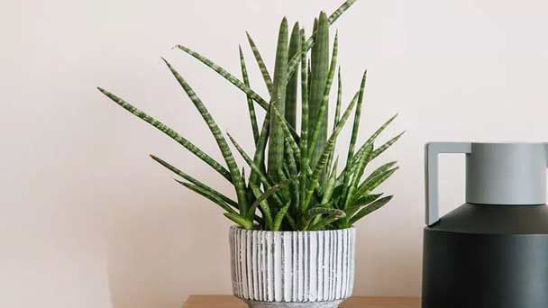 Sansevieria cylindrica (African Spear Plant) Profile