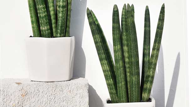 Sansevieria Cylindrica (African Spear Plant) Grow & Care Guide