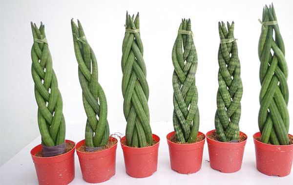 Sansevieria cylindrica (African Spear Plant)