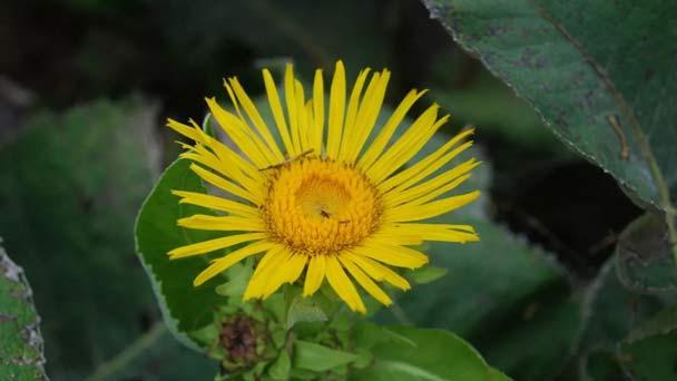 Elecampane (Inula helenium) Profile
