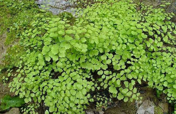 Maidenhair Fern (Adiantum raddianum)