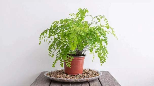 Maidenhair Fern (Adiantum raddianum) Grow & Care Guide