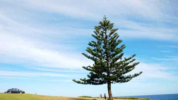 Aleppo Pine (Pinus halepensis) Profile