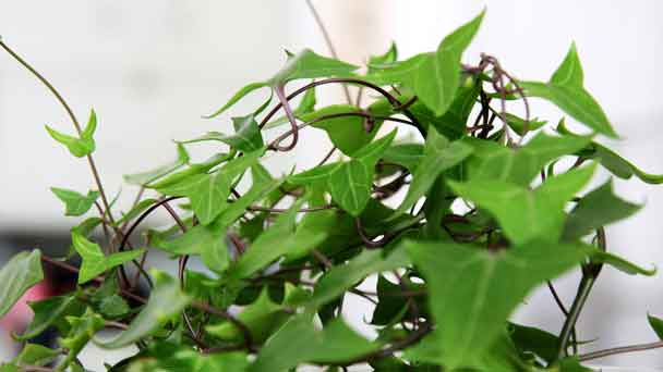 Algerian Ivy: Grow & Care for Hedera canariensis