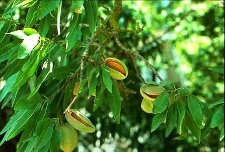 Almond-Tree