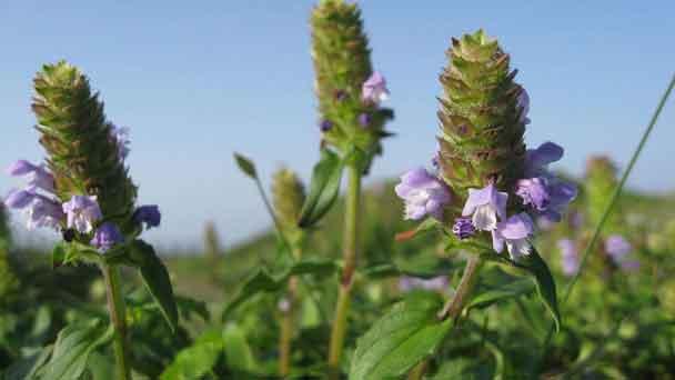 Bugleweed (Ajuga reptans) Profile