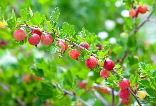 Alpine Currant (Ribes alpinum) Profile