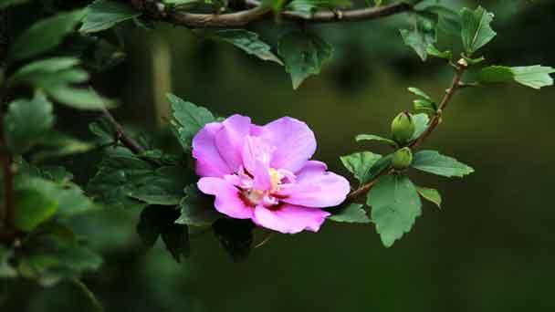 Rose of Sharon (Althea Shrub Plant) Grow & Care Guide