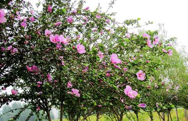 Rose of Sharon (Althea Shrub)