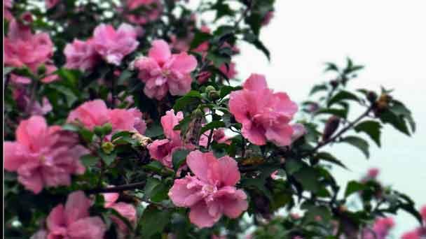 Rose of Sharon (Althea Shrub) Profile