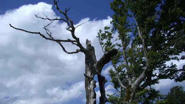 American Beech tree: Grow & Care for Fagus grandifolia