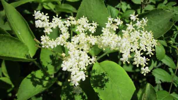 American Elderberry: Grow & Care for Sambucus Canadensis