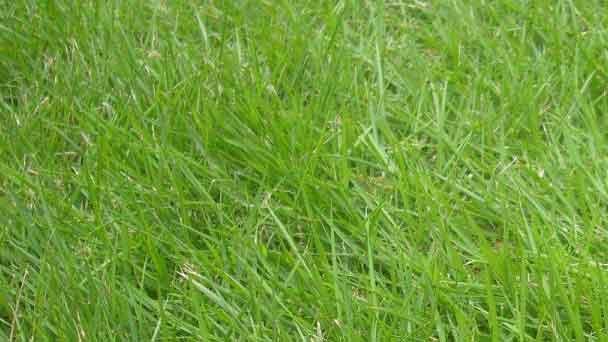 Bahia Grass (Paspalum notatum) Profile
