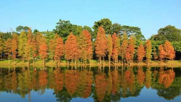 Bald Cypress: Grow & Care for Taxodium Distichum