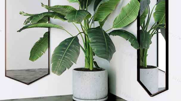 Best Indoor Tree - Plantain Tree