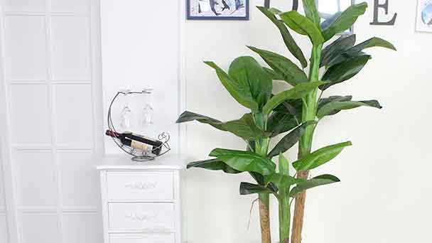 Plantain Tree Care & Growing Tips