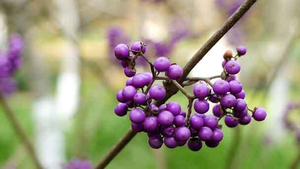 Beautyberry: Grow & Care for Callicarpa americana