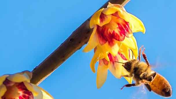 Bee Balm (Monarda didyma) Profile
