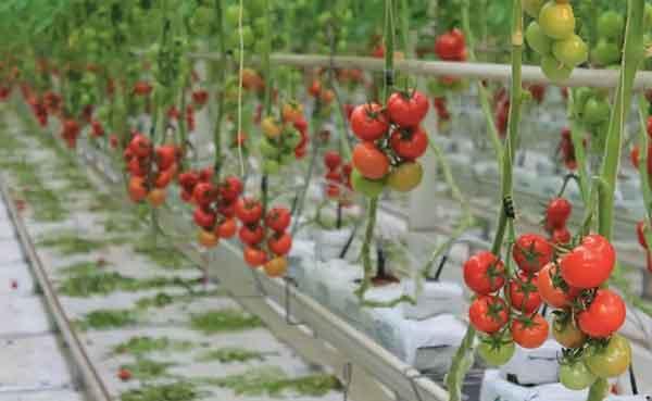 Beefsteak Tomatoes Profile