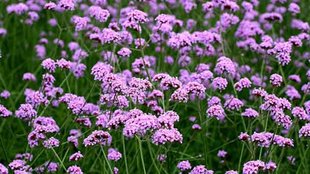 Verbena: Grow & Care for VerbenaPlants