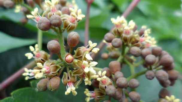 Virginia Creeper (Parthenocissus quinquefolia) Profile