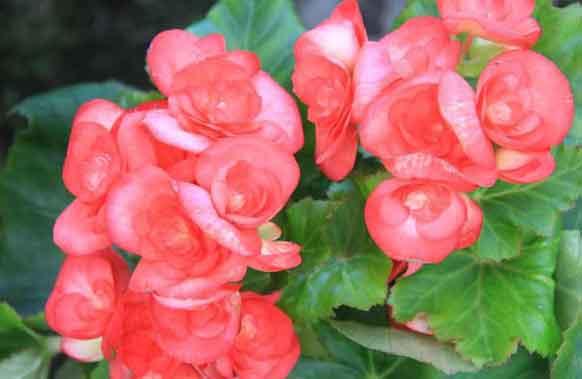 Wax Begonias