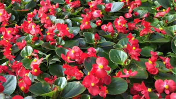 Wax Begonias: Grow & Care for Begonias
