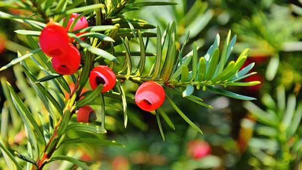 Yew Tree: Grow & Care for Taxus Yew Tree