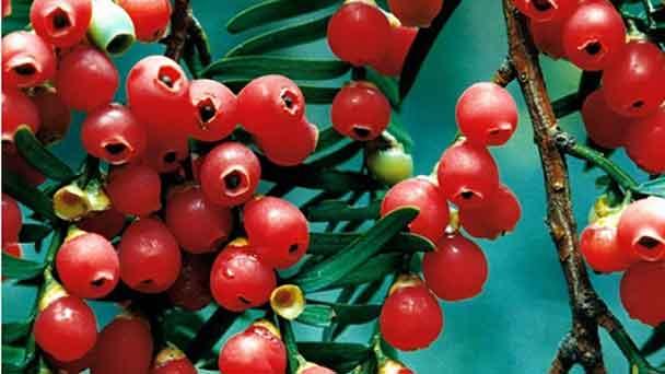 Yew Tree (Taxus Yew Tree) Profile