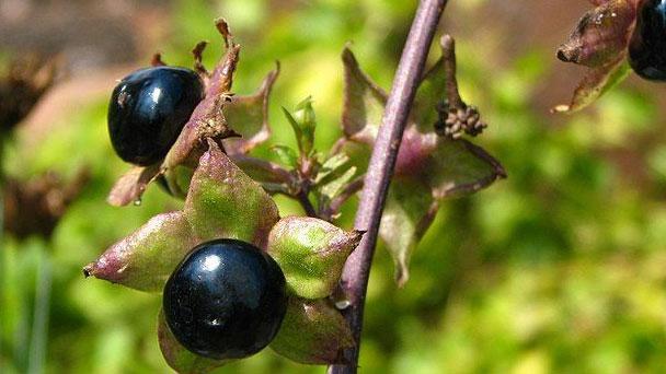 Deadly NightshadeBelladonna: Grow & Care for Atropa belladonna