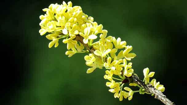 Tea Olive (Osmanthus fragrans)Profile