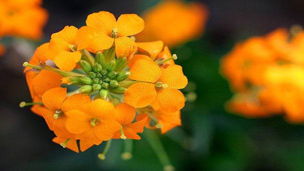 Wallflower: Grow & Care for Erysimum