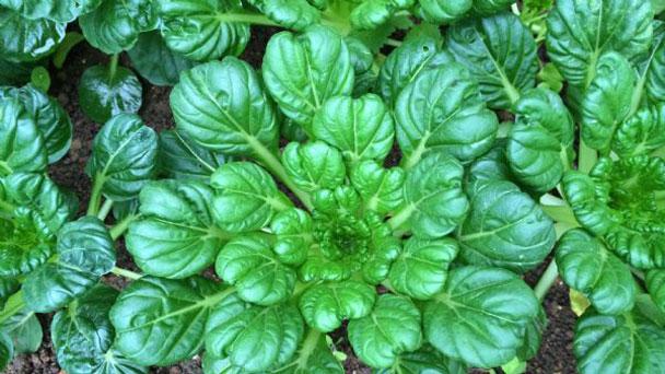 Tatsoi (Mustard Greens) Profile