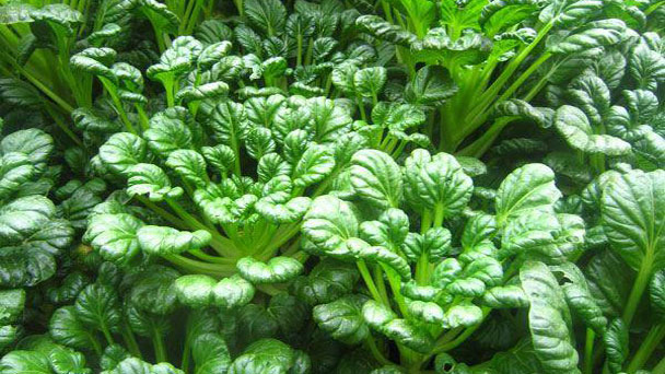 Tatsoi: Grow & Care for Mustard Greens